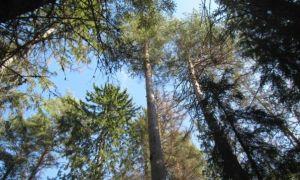 Как выписать бесплатный лес на строительство?